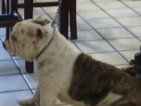 AKC registered English Bulldog puppies - 3 girls left,