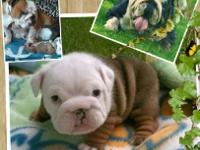AKC English Bulldog Puppies (Cutest ever) Will be vet
