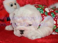 AKC English Bulldog puppy, delivered via C-section on