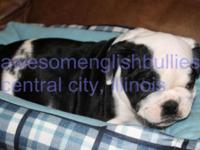 AKC English bulldog puppies, hand raised, very first
