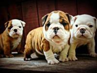 AKC English Bulldog Puppies. Quality Bred. Champion