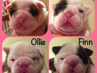 AKC signed up English Bulldog puppies, 1 red fawn