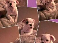 We have AKC English bulldog puppies available NOW!! We