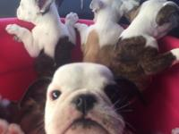 These BEAUTIFUL brindle English Bulldog puppies are