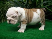 I have four standard English bulldog puppies two males