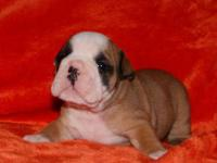 AKC English Bulldog Puppies, we have 2 females