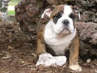 AKC English Bulldogs come with AKC papers, pedigree,