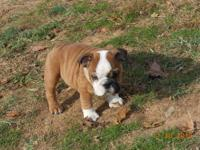 Beautiful AKC registered red and white female born