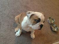 Selling my 12 week old english bulldog pup she is AKC