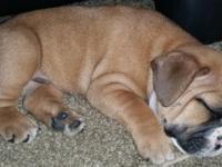 Beautiful AKC English Bulldog Puppy 8 wks old male