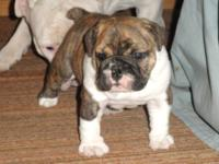 Adorible and a ton of personality! AKC Bulldog puppy,