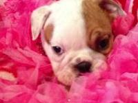 Jacey is an AKC English Bulldog puppy. She is 11 weeks