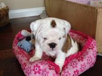Beautiful AKC english bulldog female puppy for sale AKC