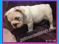 Petra is a white & black, female English Bulldog puppy,
