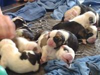 Male English Bulldog puppy he was born on 11/27/2013 he