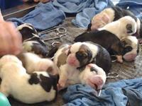 English bulldog puppy he was born on 11/27/2013 he will
