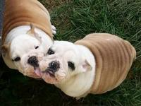 I have 1 male AKC English Bulldog puppy that is 4 and a