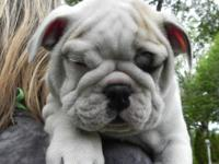 8 Puppy AKC English Bulldog white , excellent