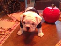 Hoss is a 6 week old male english bulldog. He has