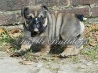 Akc male English Bulldog for sale born oct 9th will be