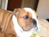 Female English bulldog puppy, 12 weeks old. Great