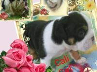 Cali Girl is AKC reg. She is Black Tri. Cali will be