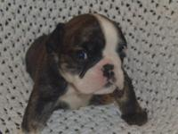 English Bulldog Puppies for sale, Born on 9/21/15. My