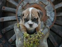 Are you trying to find a top quality English Bulldog,