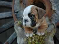 Are you trying to find a high quality English Bulldog,