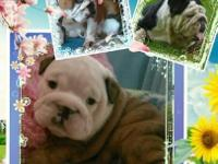 Dottie is a AKC English Bulldog Puppy Will be ready to