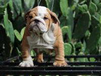 *** www.alansbulldogs.com *** Special Edition Bulldogs