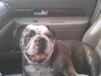 Akc English bulldog puppy grand champion and champion