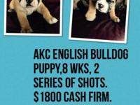 Beautiful AKC English Bulldog, male 8 week puppy for