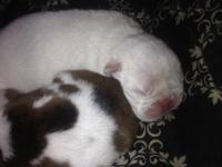 I have 3 males 2 females Great looking puppy's Parent