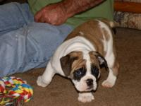 2 beautiful, healthy English Bulldog puppies. These