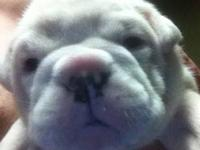 We have a litter of 5 English Bulldog puppies. This