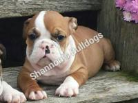 AKC English Bulldogs vet checked first shots These