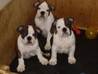 Our Bully Boy's are the handsomest little individual's!