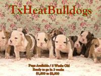 We have a litter of 7 week old Akc English BullDog
