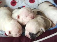 We have an impressive litter of Bulldogs.. Four chunky