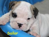 Sailor is Akc registered. She is white with a few fawn