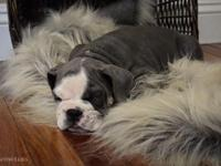 I have up for sale my Blue Trindle Triple Carrier male,