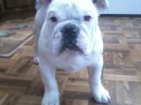 ENGLISH BULLDOG , 2 YEARS OLD , MALE , WHITE WITH