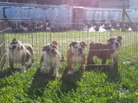 I have a litter of AKC Registered gorgeous males. With