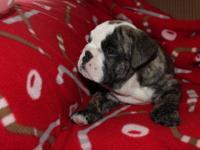 They call me Jules. Born 1-1-13 AKC English Bulldog,