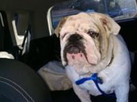 Akc English bulldogs litter due on July 14 taking