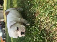 3 akc english bulldogs for sale, currently 8 weeks old