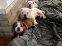 We have some beautiful healthy AKC English Bulldogs