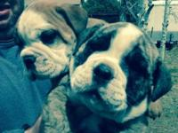 Attractive, Exiting, English Bulldog Puppies 2 Males