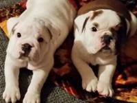 Gorgeous Male & 2 Female Engliish Bulldog Puppies. 7